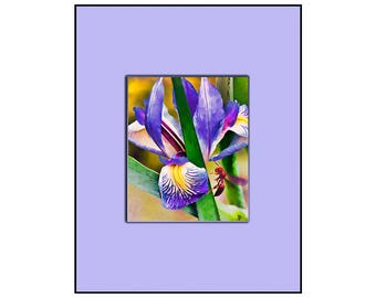 Fine art print with Mat all in one. The Iris and the bee, Mounted and ready to hang or frame, 11 by 14. Plus fast and free shipping