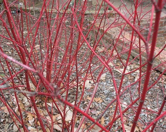 Cardinal Red Twig Dogwood - Live Plant - Starter Plug (LG)