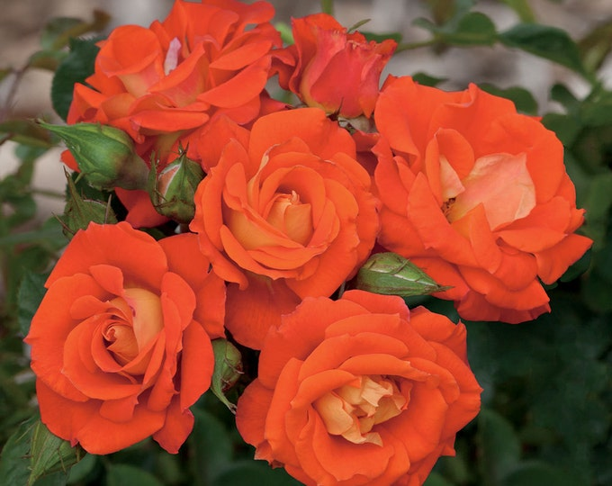 Top of the World ™ Rose Bush  Fragrant Climbing Orange Rose Potted | Own Root Non-GMO - Spring Shipping