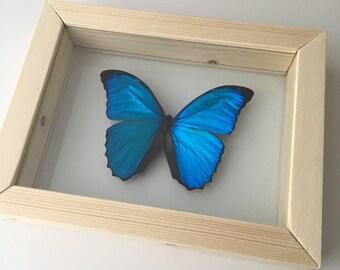 Blue Morpho // Handmade Framed Butterfly // Taxidermy Butterfly //  Real Butterfly //  Framed Butterflies // Butterfly Art