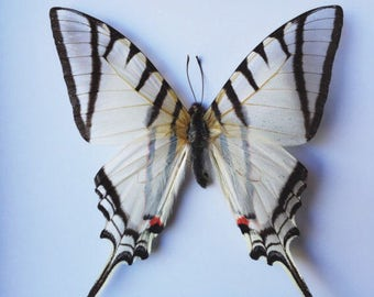 Real Butterfly // White Lined Kite // Taxidermy Butterfly // Loose Butterflies // Dried Butterflies