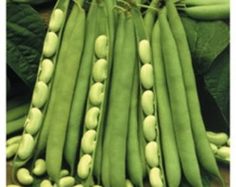 VBS)~GREEN FLAGEOLET Bean~ Seed!~~~~~French Filet Heirloom!!