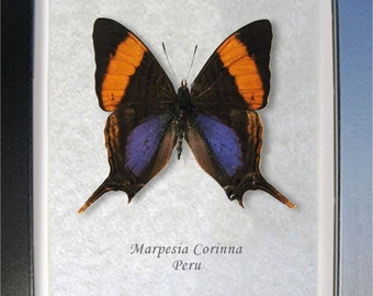 Daggerwing Purple Orange Marpesia Corinna Real Butterfly In Shadowbox