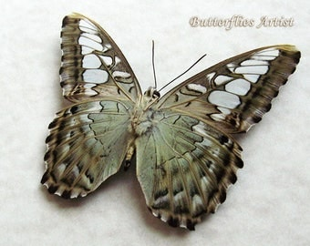 Blue Clipper Parthenos Sylvia Real Butterfly In Museum Quality Shadowbox