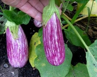 Eggplant Plant, Antigua