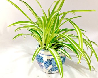 Variegated Green Leaves Spider Plant, Very Easy Plant to Care For