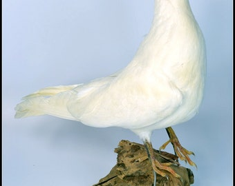 real stuff bird taxidermy  white Dove,specimen,art,birthday gift,free shipping to worldwide