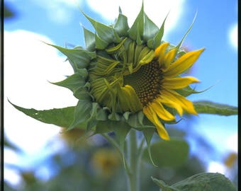 Fine Art Giclee print. Flower photography. Large yellow sunflower unfurling petals against blue sky white clouds. Winking.