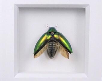 Sternocera Aequisignata Green Jewel Beetle Wooden Frame Entomology Insect Art
