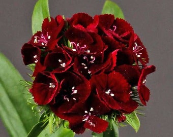 Dianthus barbatus Sweet Black Cherry Quart Plant
