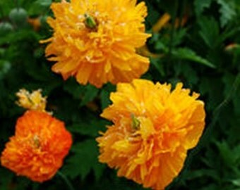 Meconopsis cambrica fl pl aurantiaca (Welsh Poppy) - 40 seeds.  Lovely Welsh Poppy with fully double flowers & unusual fern like foliage.