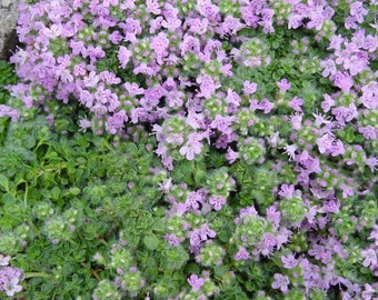 Creeping Thyme Seeds, Ground Cover Seeds