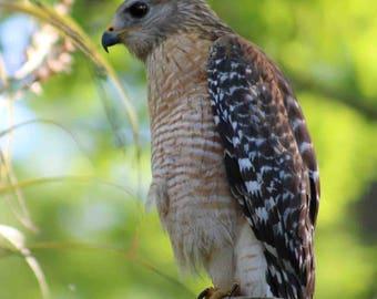 Hawk Digital Photography Florida Bird Art Tree Brown Green