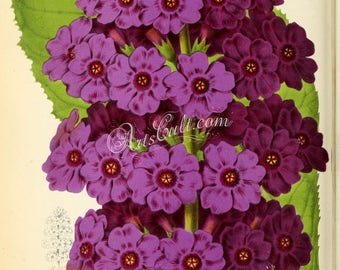 flowers-28036 - primula japonica, Japanese primrose or Japanese cowslip, purple blooming flower digital vintage illustration printable image