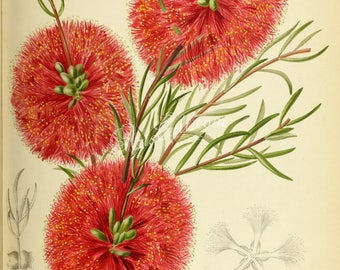 flowers-29764 - melaleuca fulgens, scarlet honey myrtle, Red flowers bouquet digital illustration picture antique book page paper image jpeg