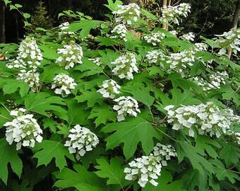 40 White OAK LEAF HYDRANGEA Quercifolia Shrub Flower Seeds *Comb S/H