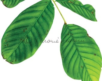 PRINTS from original watercolor-Juglans regia (Walnut)