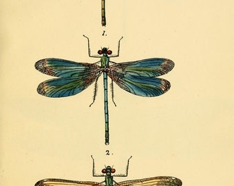 dragonfly art print, an antique scientific illustration, printable digital download no. 1404