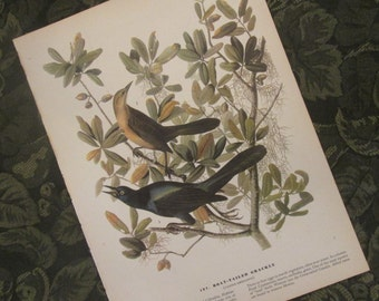 Two Vintage Bird Illustrations - Audubon Book Plates 1971 - Grackle/ Warbler