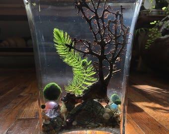 SALE! Zen Live Marimo Moss Ball Tall Fan Vase Mini Aquarium/Terrarium