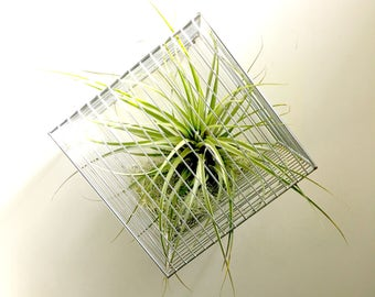 Extra large caged in metal cube air plant with live green moss -ex large air plant- tillandsia- hanging planter desk decor geometric planter