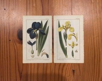 1790 Original JOHANNES ZORN German Botanical Prints--Bearded Iris & Yellow Iris