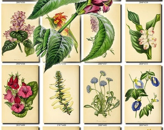 FLOWERS-137 Collection of 215 vintage images Chelone Butterfly Plant phalaenopsis Turmeric botanical pictures High resolution flower digital