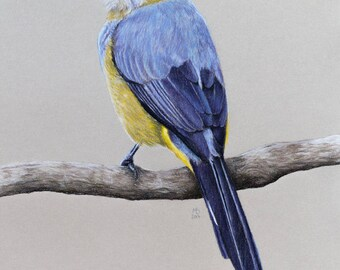 """Original pastel drawing """"Long-tailed silky-flycatcher"""""""