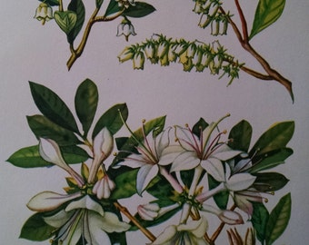 Sparkleberry, fetter bush & smooth azalea, antique botanical litho print, 1954