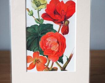 Begonia Botanical Book Print - mounted ready for framing - floral art