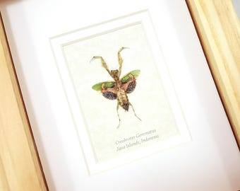 FREE SHIPPING Real Framed Creobroter Gemmatus Jeweled Flower Mantis Taxidermy High Quality A1 Mounted Spread