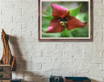 Purple Trillium Photograph, Fine art print, spring flower macro photography, 20x24
