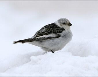 16x24 Poster; Snow Bunting Bird