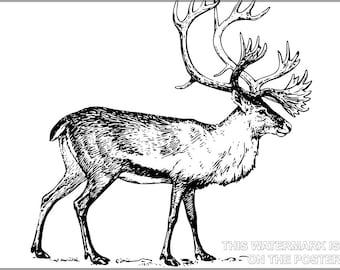 16x24 Poster; Caribou Illustration