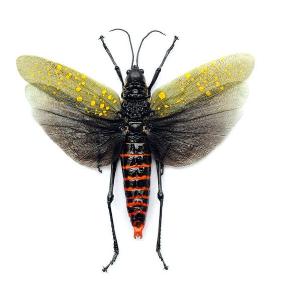 Supplies for your artworks  dried insects  :  2x  Aularches punctatus, grasshopper spread wings, unmounted ,  FREE SHIPPING