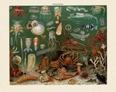 Sea Creatures Coral Jellyfish Art Print - Vintage Marine Illustration - Science Wall Art - Museum Quality