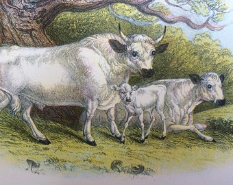 1896 Chillingham Cattle Antique Print, Mounted, Matted & Ready to Frame