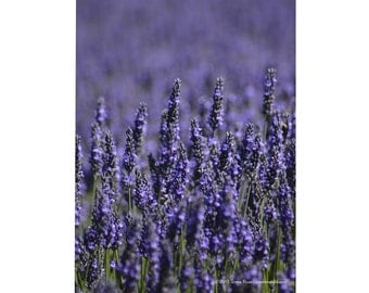 Lavender 12 - Sequim WA