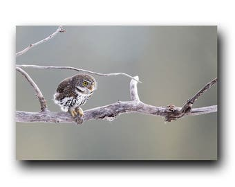 Tiny Owl, Cute Owl Print, Nature Print,  Bird Picture, Bird Photography, Wall Art, Cute Owl, Tiny Owl Photo, Adorable, Pygmy Owl