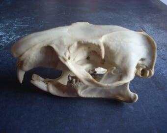 Small Woodkchuck Skull