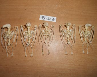 Taxidermy Fruit Bat Sphelia Skeleton 5 Pcs