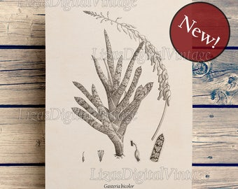 Succulent print, Instant download, Succulent wall decor, Succulent poster, Gasteria, Botanical illustration, Vintage print, 8x10, 11x14, A3