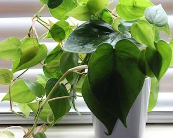 Heart-Leaf Philodendron Aka Philodendron Cordatum Live Plant Fit 1 Qrt pot