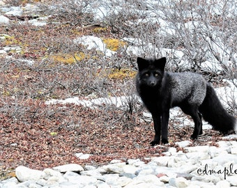 Silver Fox, Silver Fox Photography, Arctic Wildlife, Photography, Photo Print, Custom sizes