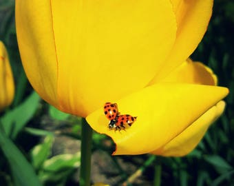 Yellow Tulip & Beetle (2) 5×7 prints