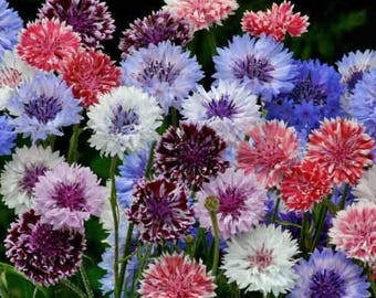 10 Bachelor Button Seeds- Mixed Colors