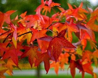 Sweetgum Tree (Liquidambar styraciflua)