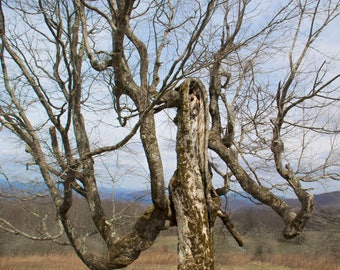 The Witch, Fine Art Photography, Tree Print, Anthropomorphism, Haunted, Nature Photography