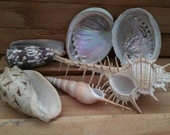 Vintage exotic sea shell lot # 2