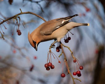 Waxwing Greeting Card - Blank